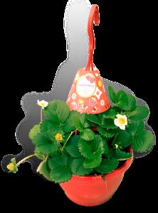 aardbeienplant-22cm-hangpot-productfoto-wit_SHADOW