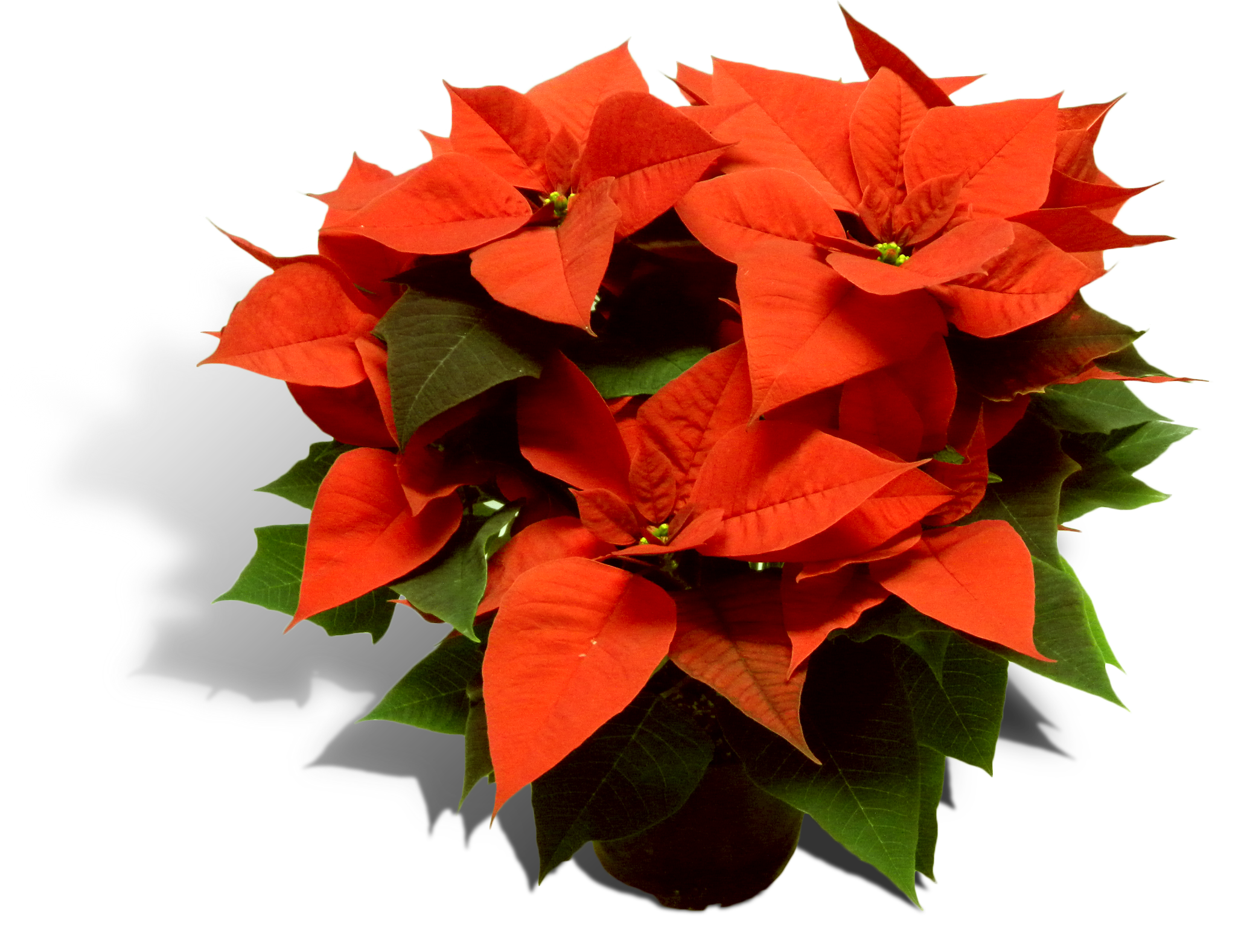 Poinsettia Happiness