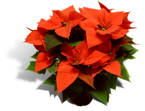 poinsettia-17cm-pot-productfoto_SHADOW